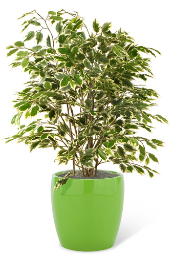 Hawaiian Ficus Bush